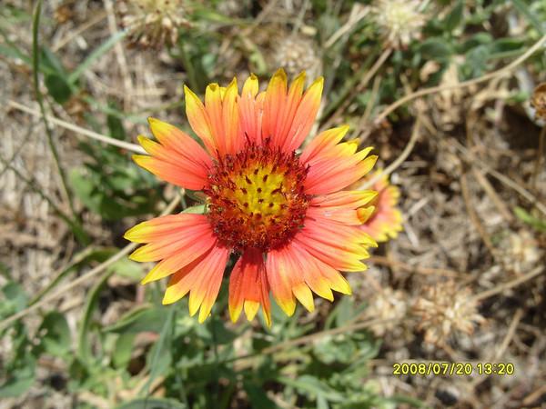 Gaillardia pulchella - Indian Blanket