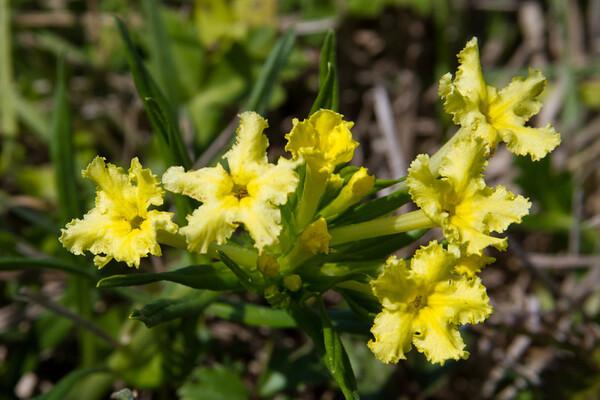 Lithospermum incisum - Fringed Puccoon