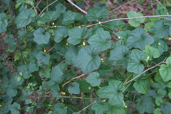 Melothria pendula - Melonette