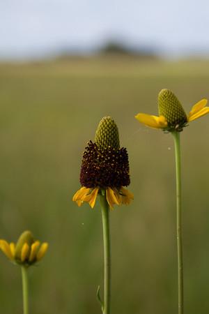 Rudbeckia grandiflora - Tall Coneflower