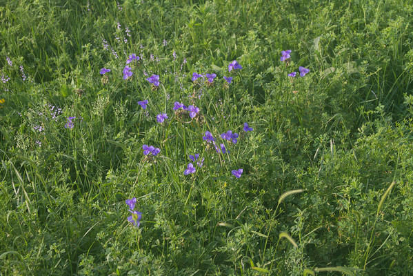 Tradescantia occidentalis - Western Spiderwort