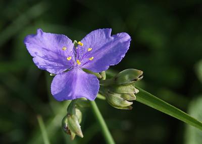 Tradescantia ohioensis - Ohio Spiderwort