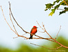 Vermillion Flycatcher - Male