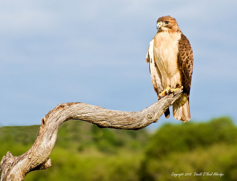 Red Tail Hawk - Captive