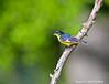 Lesser Goldfinch - Male