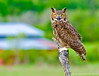Great Horned Owl - Captive