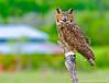 Great Horned Owl - Captive