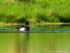 Wood Duck -Male