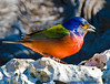Painted Bunting - Male (100% crop)