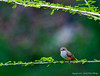 Vermillion Flycatcher - Female
