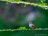 Vermillion Flycatcher - Female