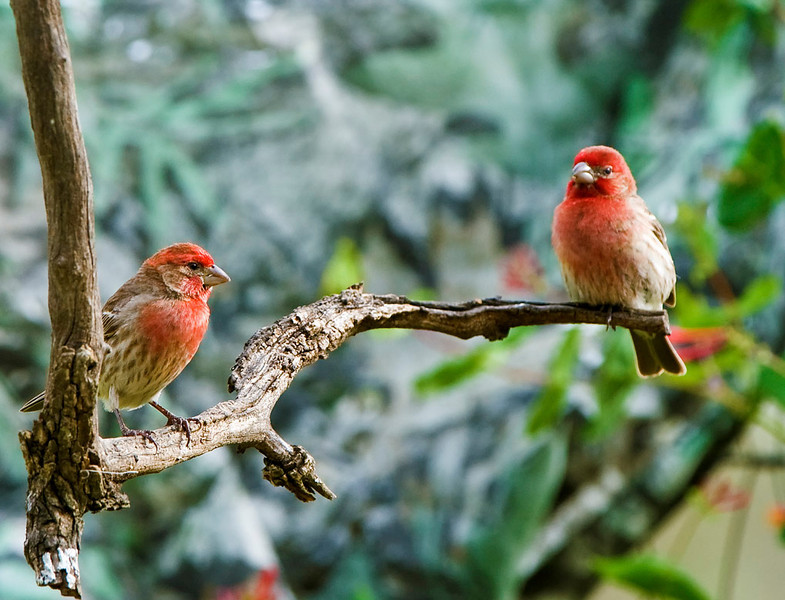 House Finch - Males