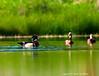 "Wood Duck in pond ""belonging"" to Black-bellied Whistling Ducks"