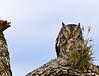Screech Owl - Captive