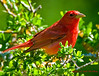 Summer Tanager - Male (100% crop)