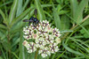 Carpenter Bee on Antelope-horn Milkweed