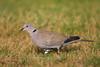 Eurasian-collared dove, Balmorhea State Park