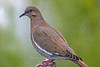 White-winged Dove, Davis Mountains State Park