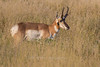Pronghorn near Fort Davis
