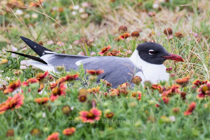 Laughing Gull on nest