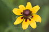 Clasping-leaved Coneflower
