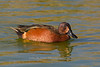 Cinnamon and Blue-winged Teal hybrid