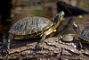 Red-eared Sliders, Nueces County, Texas