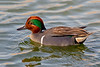 Green-winged Teal, Nueces County, Texas