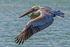 Brown Pelican, Nueces County, Texas