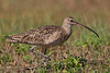 Long-billed Curlew, Aransas County, Texas