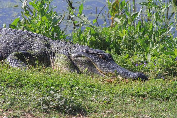 2010 04 03 - American Alligator 4