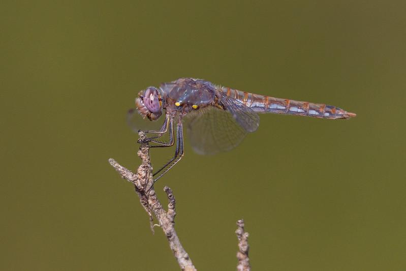 Texas Dragonflies