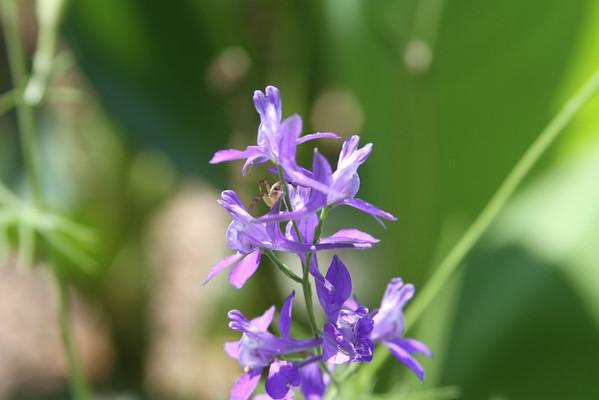 Delphinium carolinianum - Blue (Carolina) Larkspur