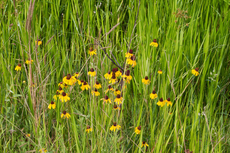 Dracopis amplexicaulis - Clasping-leaved Coneflower