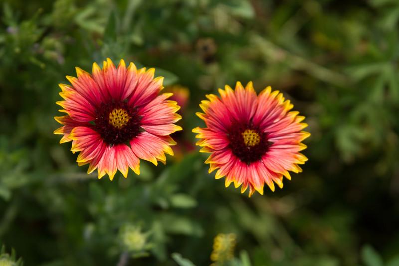 Texas Flowers D - H