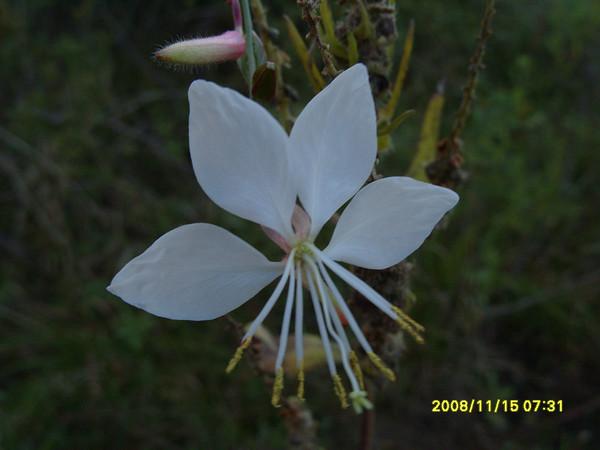 Guara linhheimeri - White Guara,