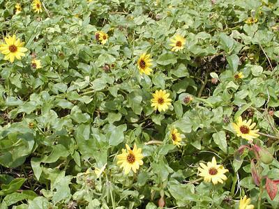 Helianthus debillis - Beach Sunflower