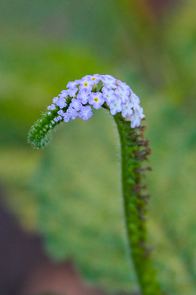 Heliotropium indica - Indian Heliotrope,