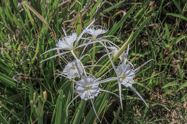 Hymenocallis liriosme - Spider Lily