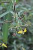 Ludwigia leptocarpa - Angle-Stem Water-Primrose