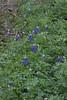Lupinus texensis - Texas Bluebonnet