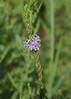 Lythrum alatum var lanceolatum - Lance-leaf Loosestrife