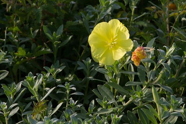 Oenothera drummondii - Beach Evening Primrose