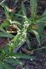 Polygonum lapathifolium - Curlytop Knotweed