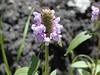 Prunella vulgaris - Self-Heal