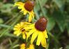 Rudbeckia herta - Black-eyed Susan