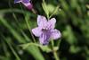 Ruellia nudiflora - Violet Ruellia