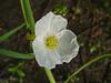 Sagittaria latifolia - Wapato