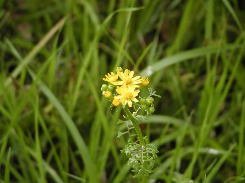 Senecio tampicanus (Packera tampicana) - Cutleaf Groundsel
