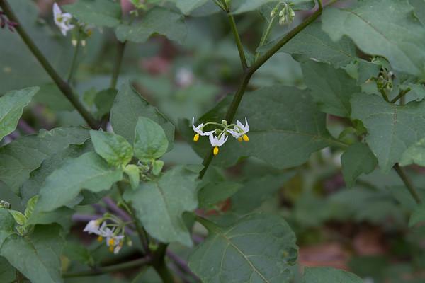 Solanum americanum - American Nightshade